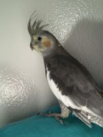 Cockatiel Birds for sale in Riverside, CA, USA. price: NA