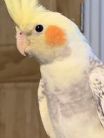 Cockatiel Birds for sale in Ford City, PA, USA. price: NA