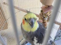 Cockatiel Birds for sale in 946 Martinique Dr, Chula Vista, CA 91913, USA. price: NA
