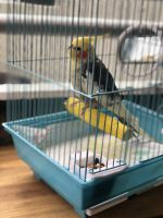 Cockatiel Birds for sale in Miami, FL, USA. price: NA