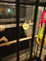 Cockatiel Birds for sale in South Bend, IN, USA. price: NA