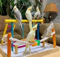 Cockatiel Birds for sale in Elgin, IL, USA. price: NA