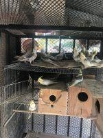 Cockatiel Birds for sale in 7548 Lemoran Ave, Pico Rivera, CA 90660, USA. price: NA