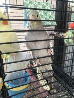 Cockatiel Birds for sale in Phoenix, AZ 85041, USA. price: NA