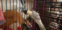 Cockatiel Birds for sale in Fair Oaks, CA, USA. price: NA