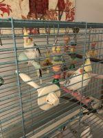 Cockatiel Birds for sale in Grandville, MI, USA. price: NA