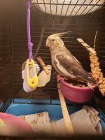 Cockatiel Birds for sale in Fresno, CA, USA. price: NA