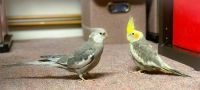 Cockatiel Birds for sale in Hewlett, NY, USA. price: NA