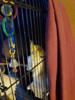 Cockatiel Birds for sale in Indianapolis, IN, USA. price: NA