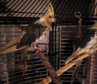 Cockatiel Birds for sale in Carmichael, CA, USA. price: NA