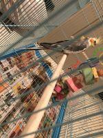Cockatiel Birds for sale in Lake Charles, LA, USA. price: NA