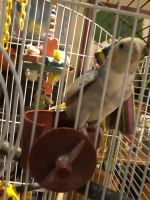 Cockatiel Birds for sale in Eau Claire, WI, USA. price: NA