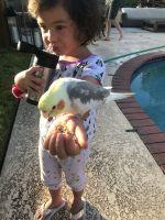 Cockatiel Birds Photos