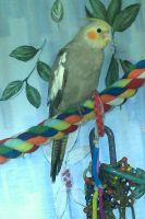 Cockatiel Birds for sale in Pensacola, FL, USA. price: NA