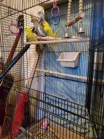 Cockatiel Birds for sale in Cambridge, OH 43725, USA. price: NA