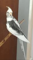 Cockatiel Birds for sale in Alpharetta, GA, USA. price: NA