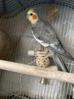Cockatiel Birds for sale in Houston, TX 77015, USA. price: NA