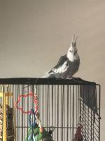 Cockatiel Birds for sale in UPPER ARLNGTN, OH 43221, USA. price: NA