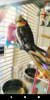 Cockatiel Birds for sale in Kendallville, IN 46755, USA. price: NA