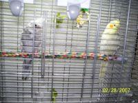 Cockatiel Birds for sale in Carlisle, PA 17013, USA. price: NA