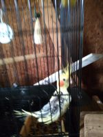 Cockatiel Birds for sale in Tabor City, NC 28463, USA. price: NA