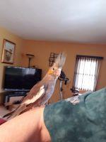 Cockatiel Birds for sale in Buchanan, MI 49107, USA. price: NA