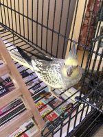 Cockatiel Birds for sale in Murfreesboro, TN, USA. price: NA