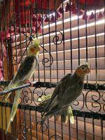 Cockatiel Birds for sale in Delavan, WI, USA. price: NA