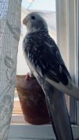 Cockatiel Birds for sale in Bay Shore, NY, USA. price: NA