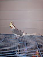 Cockatiel Birds for sale in Palmetto, FL, USA. price: NA