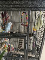 Cockatiel Birds for sale in Wheeling, IL, USA. price: NA