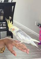 Cockatiel Birds for sale in Beloit, WI 53511, USA. price: NA