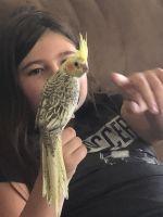 Cockatiel Birds for sale in Clarksville, TN, USA. price: NA