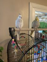 Cockatiel Birds for sale in East Bethel, MN, USA. price: NA