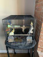 Cockatiel Birds for sale in Fall River, MA, USA. price: NA