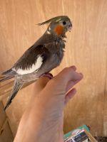 Cockatiel Birds for sale in Boca Raton, FL, USA. price: NA