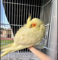 Cockatiel Birds for sale in Winter Garden, FL 34787, USA. price: NA