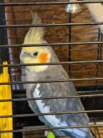 Cockatiel Birds for sale in Hemet, CA 92544, USA. price: NA