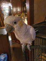 Cockatoo Birds for sale in Pensacola, FL, USA. price: NA
