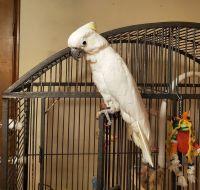 Cockatoo Birds for sale in Olympia, WA, USA. price: NA