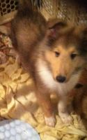 Collie Puppies for sale in Gainesville, FL, USA. price: NA