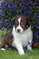Collie Puppies for sale in Des Moines, IA, USA. price: NA