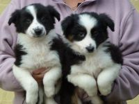 Collie Puppies for sale in Madison, WI, USA. price: NA