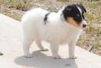 Collie Puppies for sale in Houston, TX, USA. price: NA