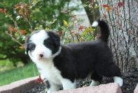 Collie Puppies for sale in Milwaukee, WI, USA. price: NA