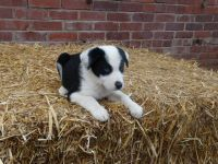 Collie Puppies for sale in Minnesota St, St Paul, MN 55101, USA. price: NA