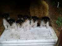 Collie Puppies for sale in Kingston, WA, USA. price: NA
