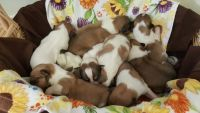 Collie Puppies for sale in Smyrna, TN 37167, USA. price: NA
