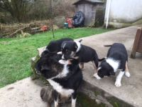 Collie Puppies for sale in Ohio Township, OH, USA. price: NA