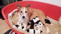 Collie Puppies for sale in Birmingham, AL, USA. price: NA